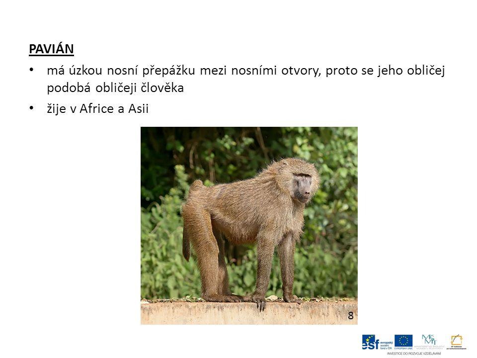 PAVIÁN má úzkou nosní přepážku mezi nosními otvory, proto se jeho obličej podobá obličeji člověka žije v Africe a Asii 8