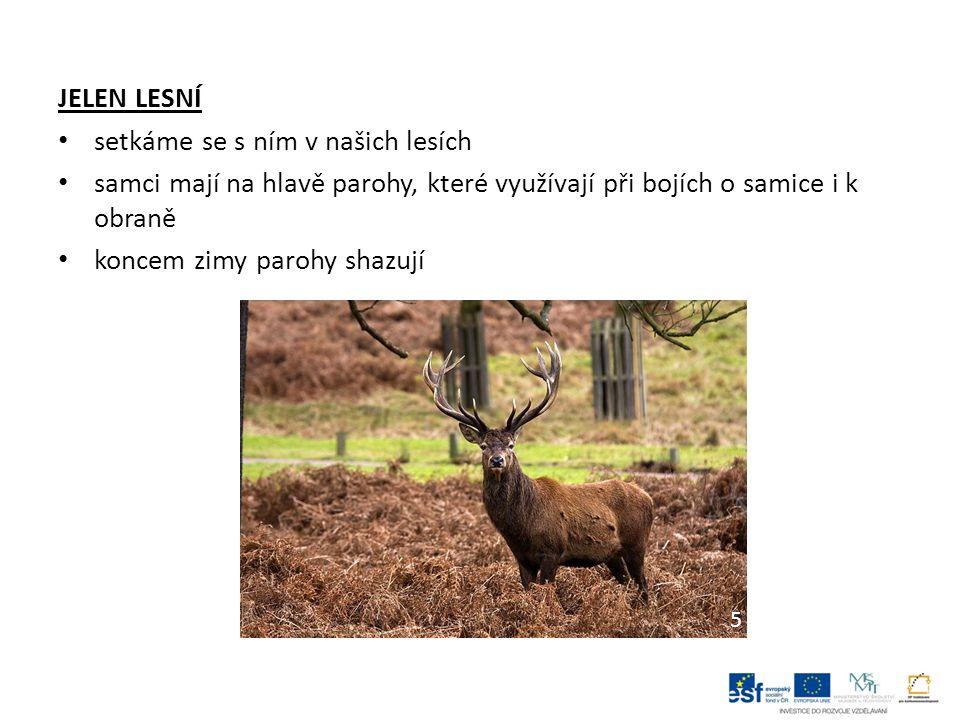 JELEN LESNÍ setkáme se s ním v našich lesích samci mají na hlavě parohy, které využívají při bojích o samice i k obraně koncem zimy parohy shazují 5