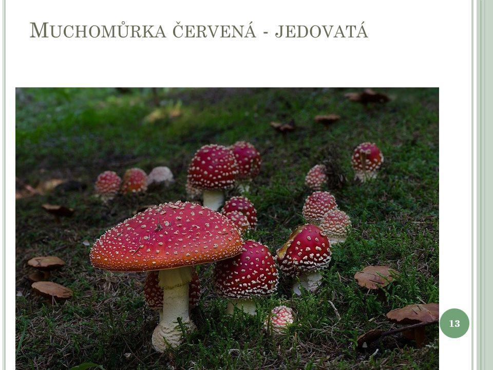 M UCHOMŮRKA ČERVENÁ - JEDOVATÁ 13