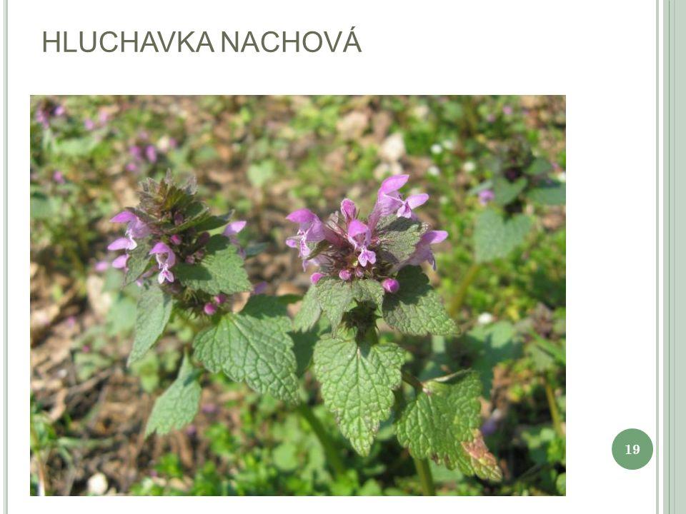 HLUCHAVKA NACHOVÁ 19