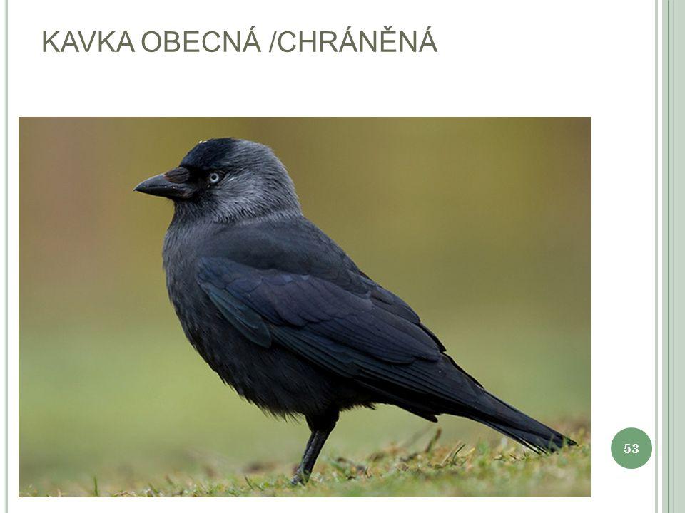 KAVKA OBECNÁ /CHRÁNĚNÁ 53