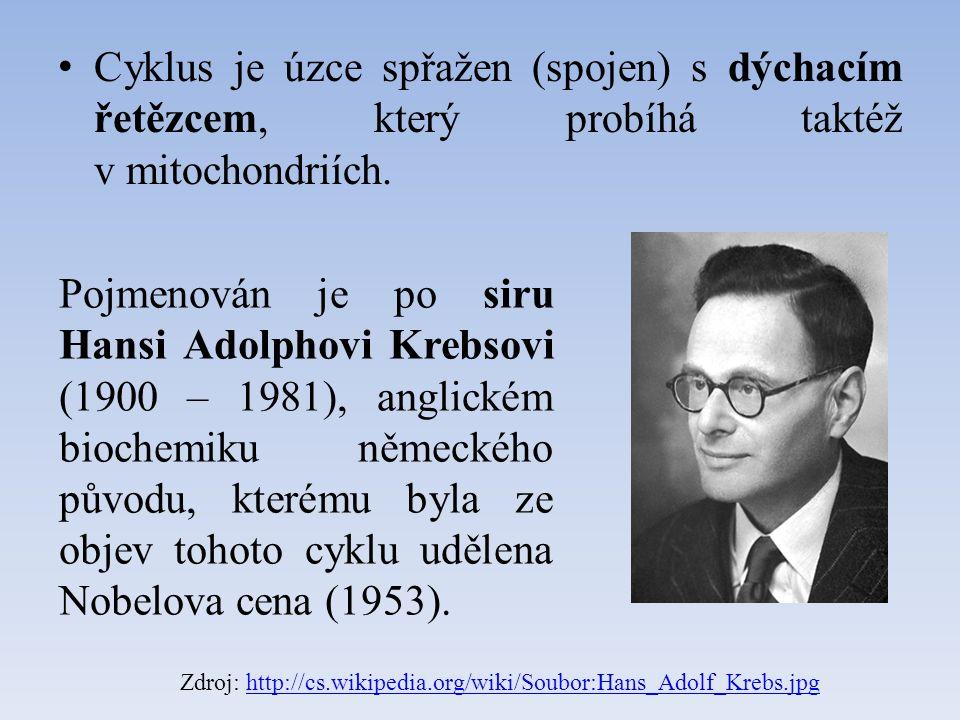 Cyklus je úzce spřažen (spojen) s dýchacím řetězcem, který probíhá taktéž v mitochondriích. Zdroj: http://cs.wikipedia.org/wiki/Soubor:Hans_Adolf_Kreb