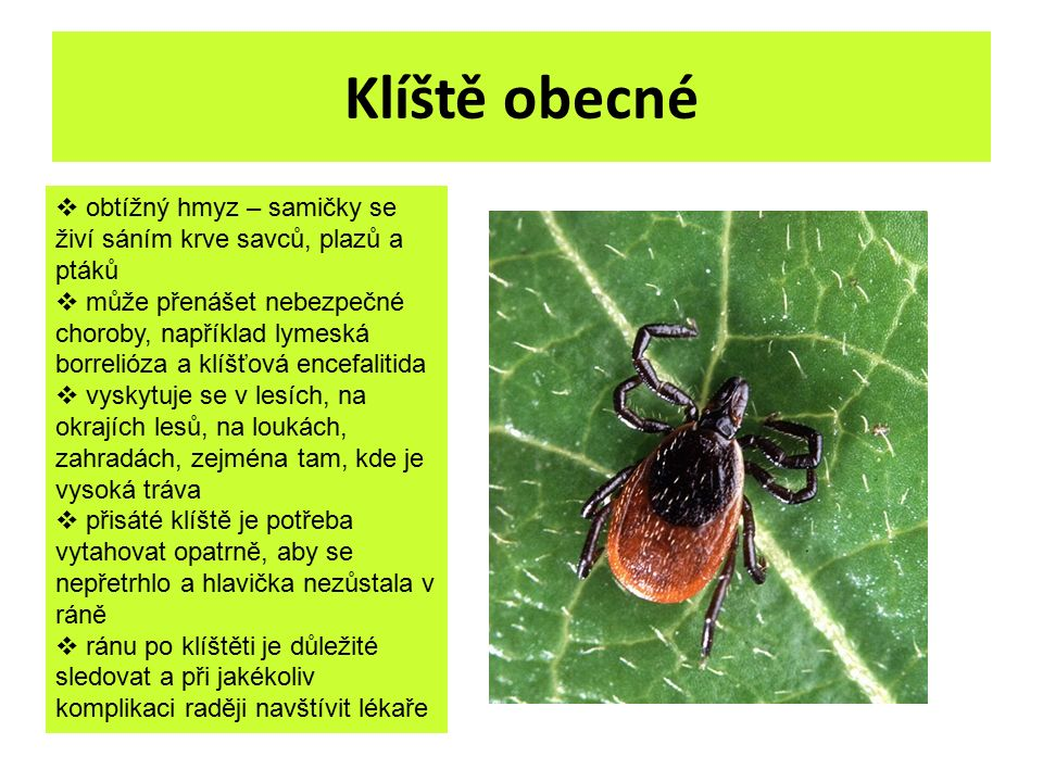 Klíště obecné  obtížný hmyz – samičky se živí sáním krve savců, plazů a ptáků  může přenášet nebezpečné choroby, například lymeská borrelióza a klíš