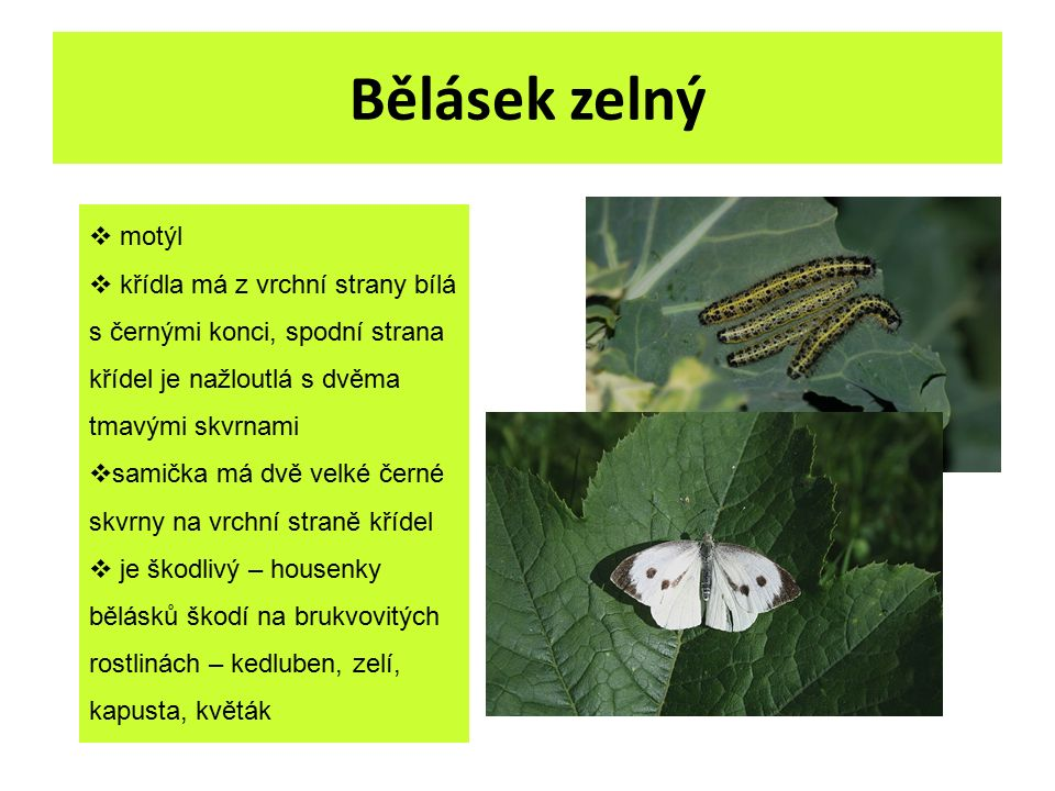 Bělásek zelný  motýl  křídla má z vrchní strany bílá s černými konci, spodní strana křídel je nažloutlá s dvěma tmavými skvrnami  samička má dvě ve