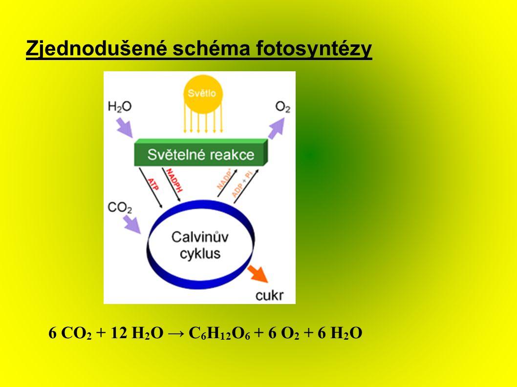 Zjednodušené schéma fotosyntézy 6 CO 2 + 12 H 2 O → C 6 H 12 O 6 + 6 O 2 + 6 H 2 O