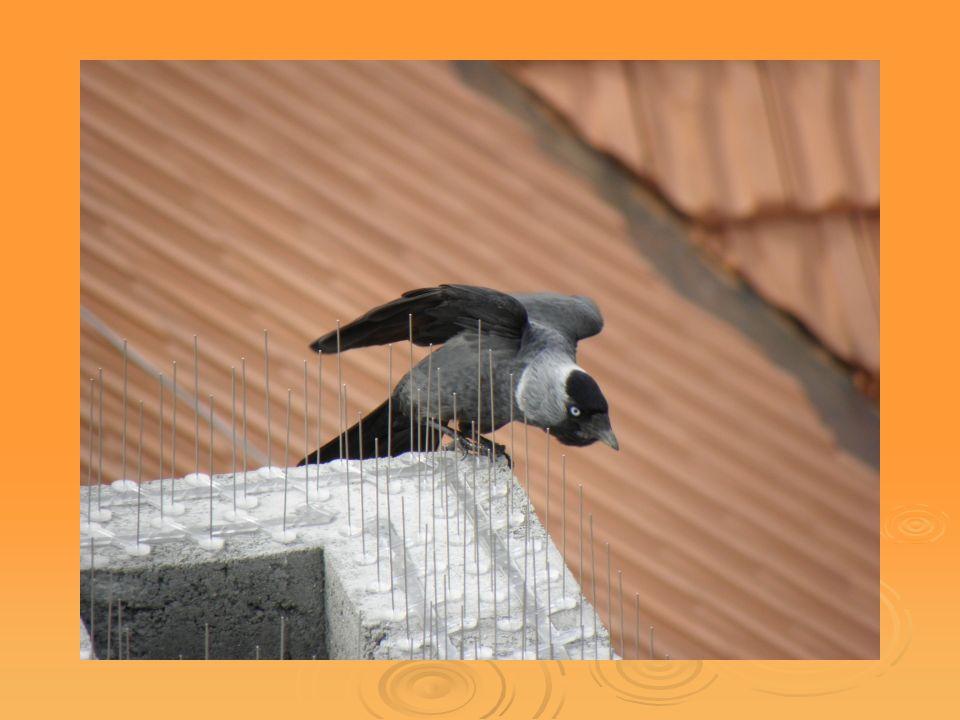 Vzhled  Výrazně menší než havrani a vrány. Má našedivělou hlavu s černým čepečkem na temeni.