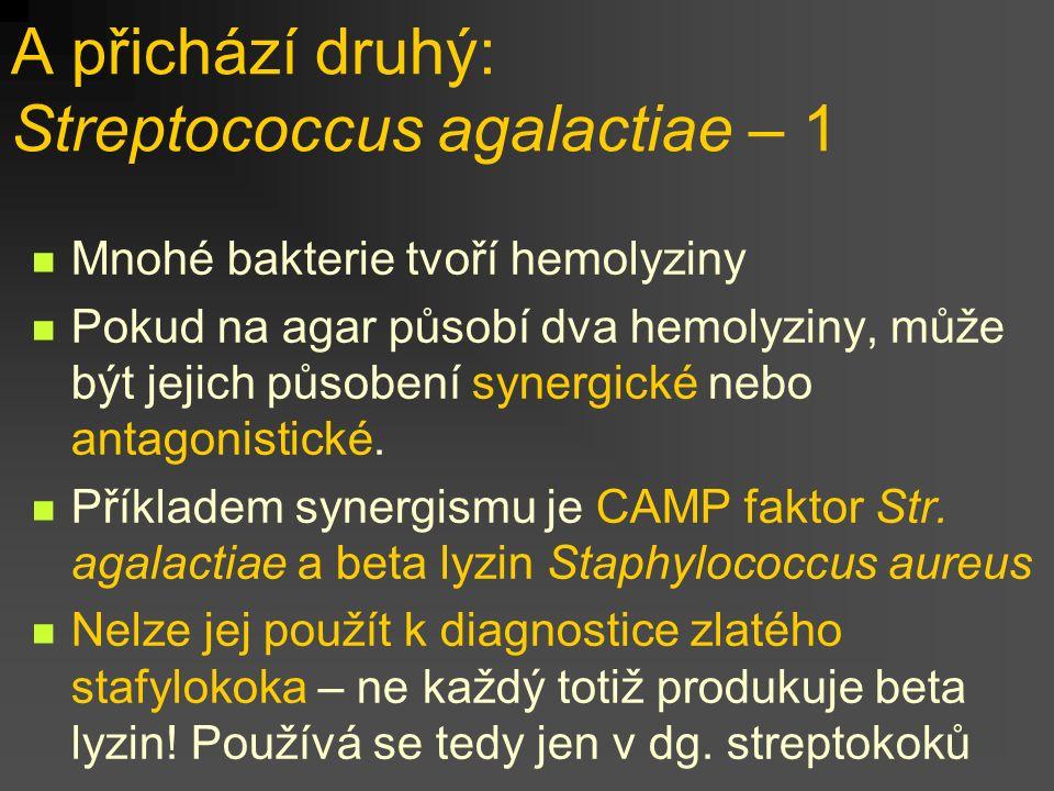 A přichází druhý: Streptococcus agalactiae – 1 Mnohé bakterie tvoří hemolyziny Pokud na agar působí dva hemolyziny, může být jejich působení synergické nebo antagonistické.