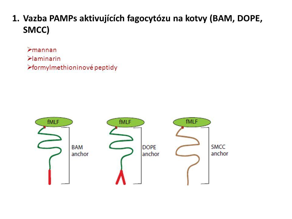 1.Vazba PAMPs aktivujících fagocytózu na kotvy (BAM, DOPE, SMCC)  mannan  laminarin  formylmethioninové peptidy