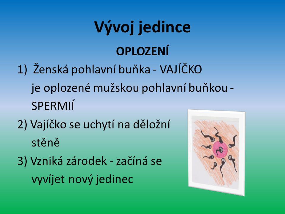Vývoj jedince OPLOZENÍ 1)Ženská pohlavní buňka - VAJÍČKO je oplozené mužskou pohlavní buňkou - SPERMIÍ 2) Vajíčko se uchytí na děložní stěně 3) Vzniká zárodek - začíná se vyvíjet nový jedinec
