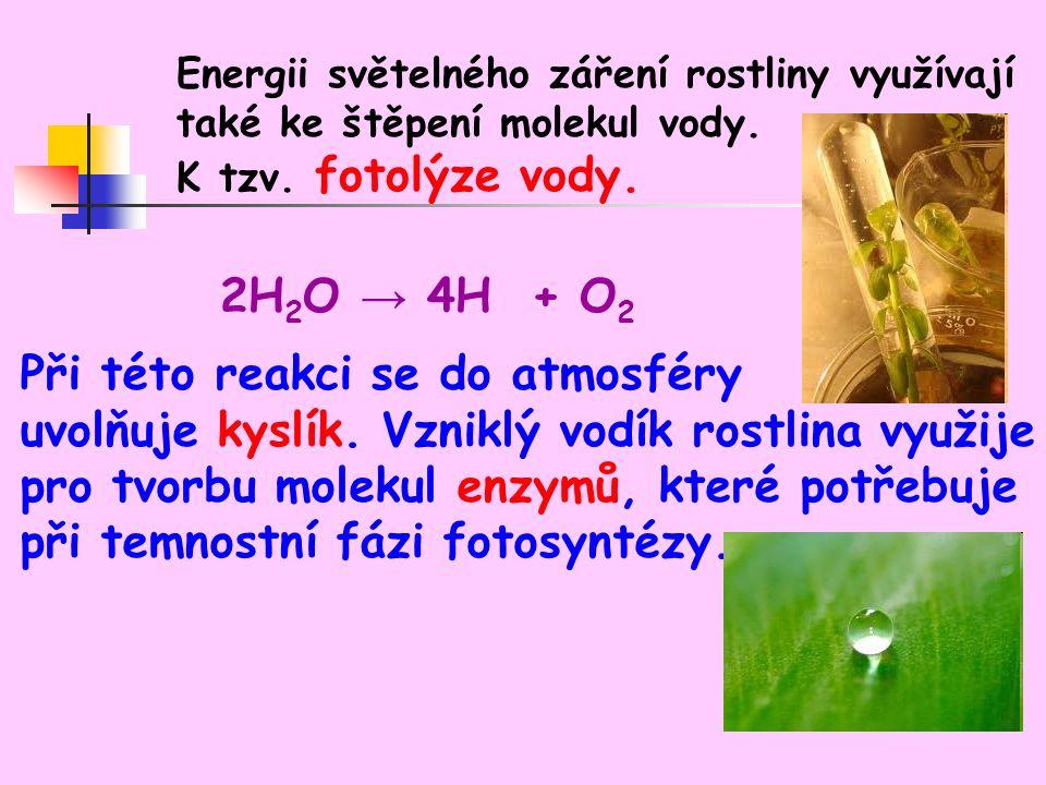 Energii světelného záření rostliny využívají také ke štěpení molekul vody.