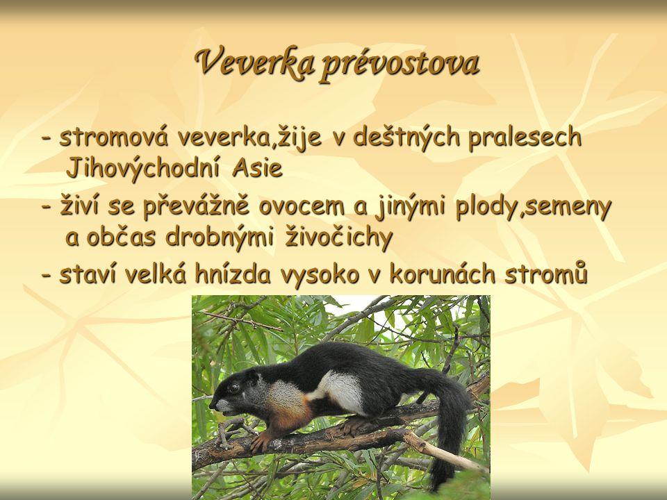 Veverka prévostova - stromová veverka,žije v deštných pralesech Jihovýchodní Asie - živí se převážně ovocem a jinými plody,semeny a občas drobnými živočichy - staví velká hnízda vysoko v korunách stromů