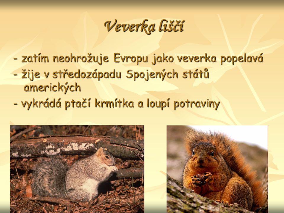 Veverka liščí - zatím neohrožuje Evropu jako veverka popelavá - žije v středozápadu Spojených států amerických - vykrádá ptačí krmítka a loupí potraviny