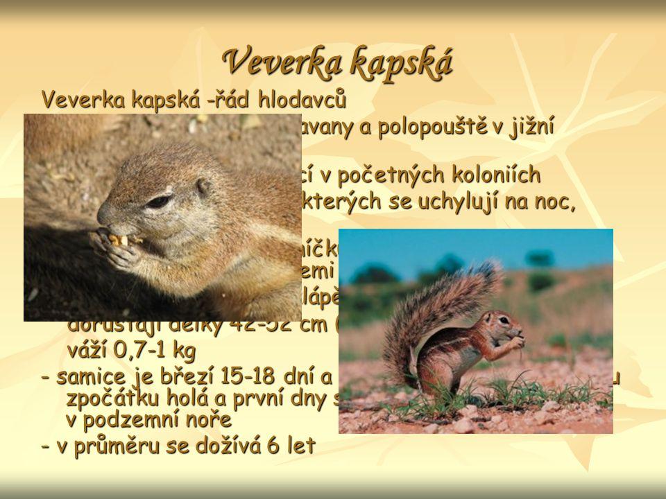 Veverka kapská Veverka kapská -řád hlodavců - obývá převážně suché savany a polopouště v jižní Africe.