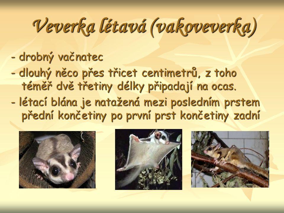 Veverka létavá (vakoveverka) - drobný vačnatec - dlouhý něco přes třicet centimetrů, z toho téměř dvě třetiny délky připadají na ocas.