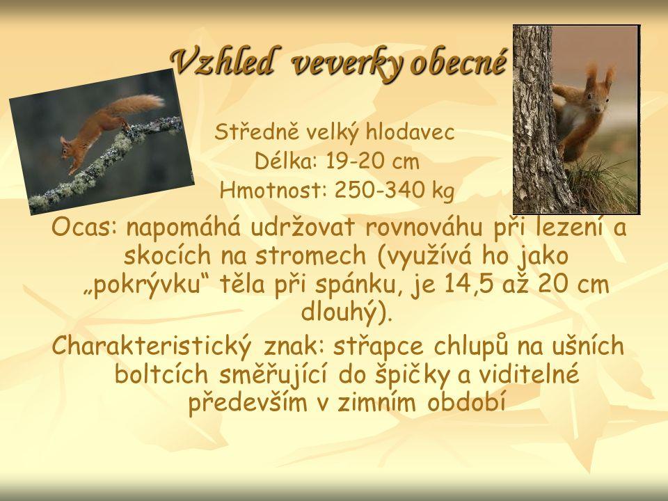 """Vzhled veverky obecné Středně velký hlodavec Délka: 19-20 cm Hmotnost: 250-340 kg Ocas: napomáhá udržovat rovnováhu při lezení a skocích na stromech (využívá ho jako """"pokrývku těla při spánku, je 14,5 až 20 cm dlouhý)."""