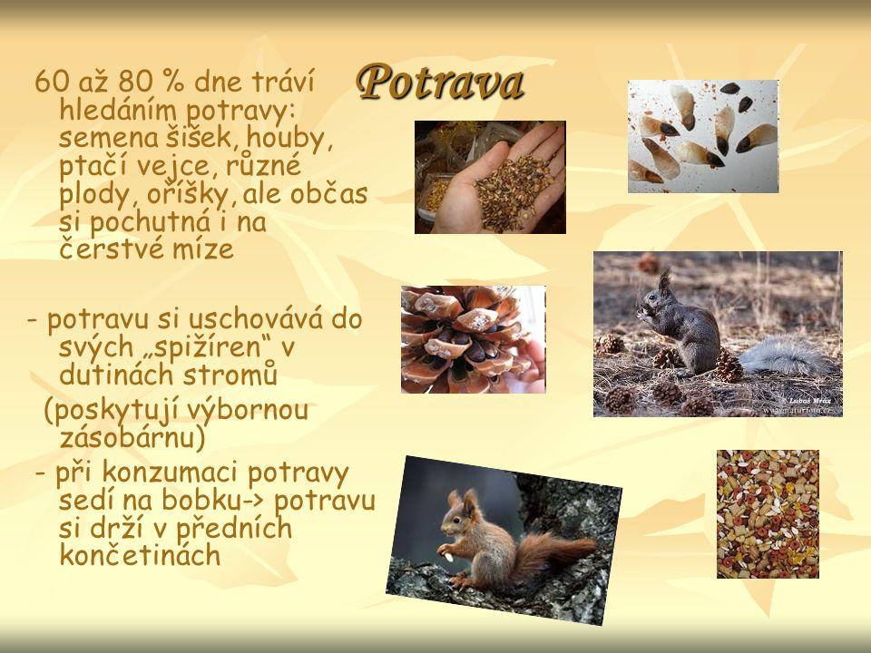 """Potrava 60 až 80 % dne tráví hledáním potravy: semena šišek, houby, ptačí vejce, různé plody, oříšky, ale občas si pochutná i na čerstvé míze - potravu si uschovává do svých """"spižíren v dutinách stromů (poskytují výbornou zásobárnu) - při konzumaci potravy sedí na bobku-> potravu si drží v předních končetinách"""