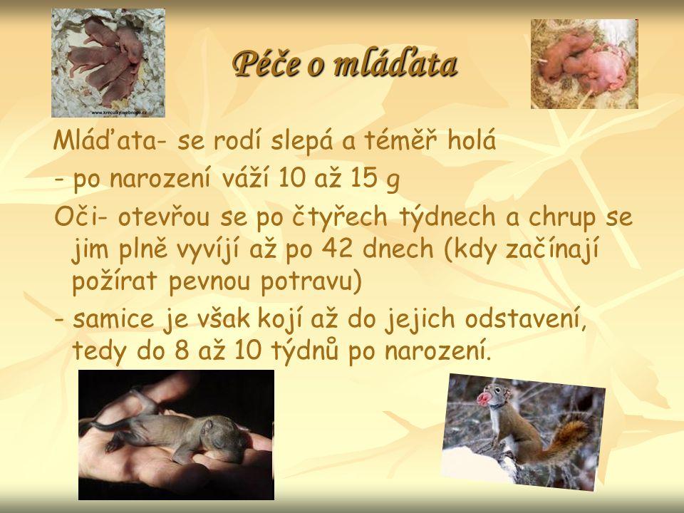 Péče o mláďata Mláďata- se rodí slepá a téměř holá - po narození váží 10 až 15 g Oči- otevřou se po čtyřech týdnech a chrup se jim plně vyvíjí až po 42 dnech (kdy začínají požírat pevnou potravu) - samice je však kojí až do jejich odstavení, tedy do 8 až 10 týdnů po narození.