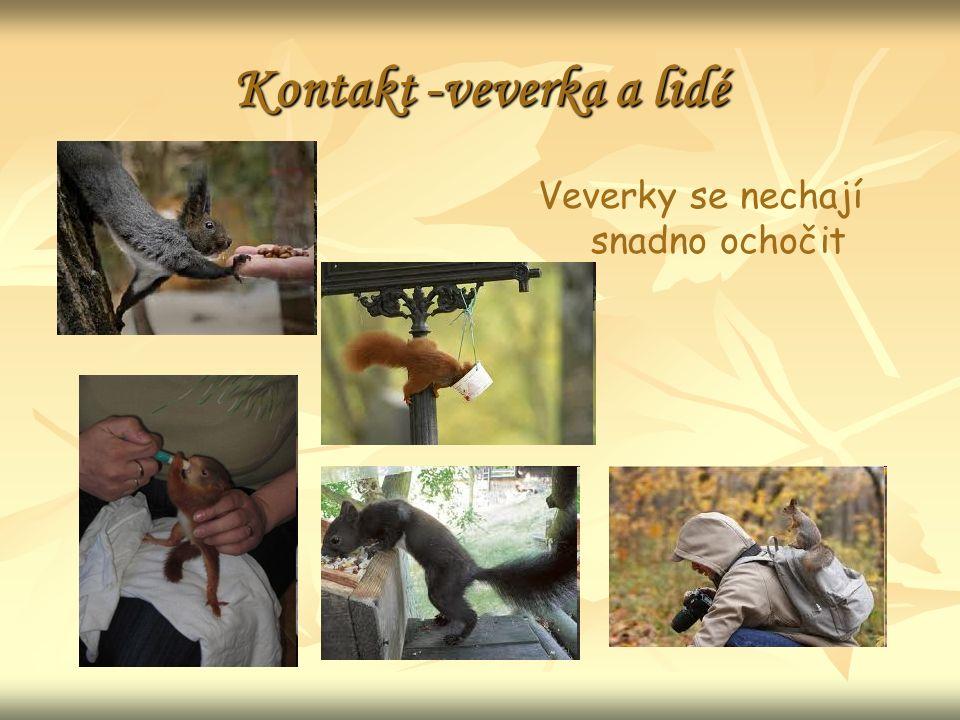 Kontakt -veverka a lidé Veverky se nechají snadno ochočit