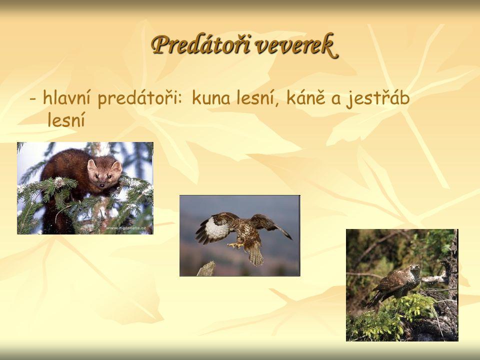 Predátoři veverek - hlavní predátoři: kuna lesní, káně a jestřáb lesní