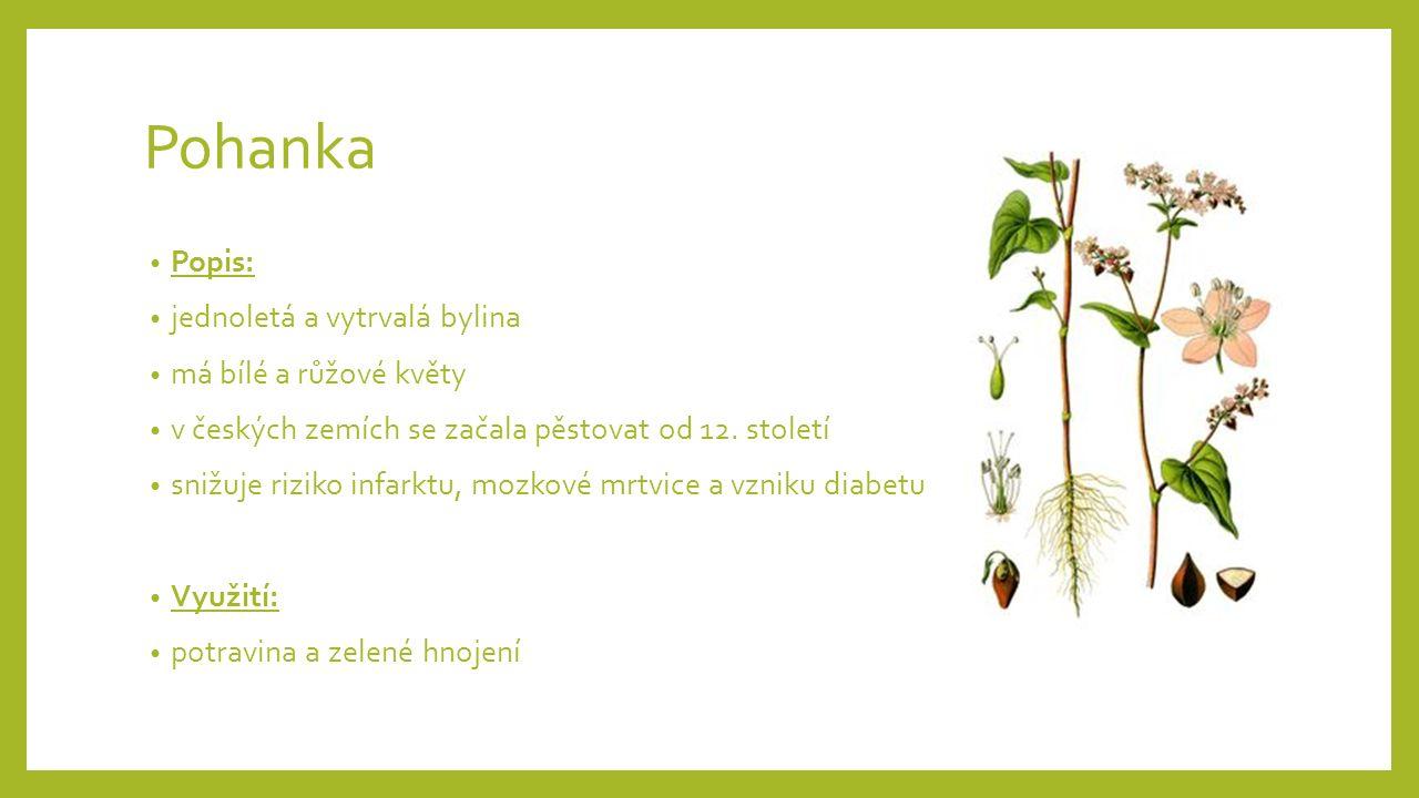 Pohanka Popis: jednoletá a vytrvalá bylina má bílé a růžové květy v českých zemích se začala pěstovat od 12.