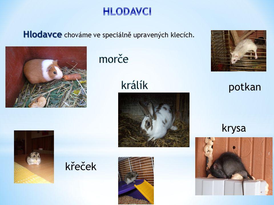 potkan křeček Hlodavce Hlodavce chováme ve speciálně upravených klecích. krysa