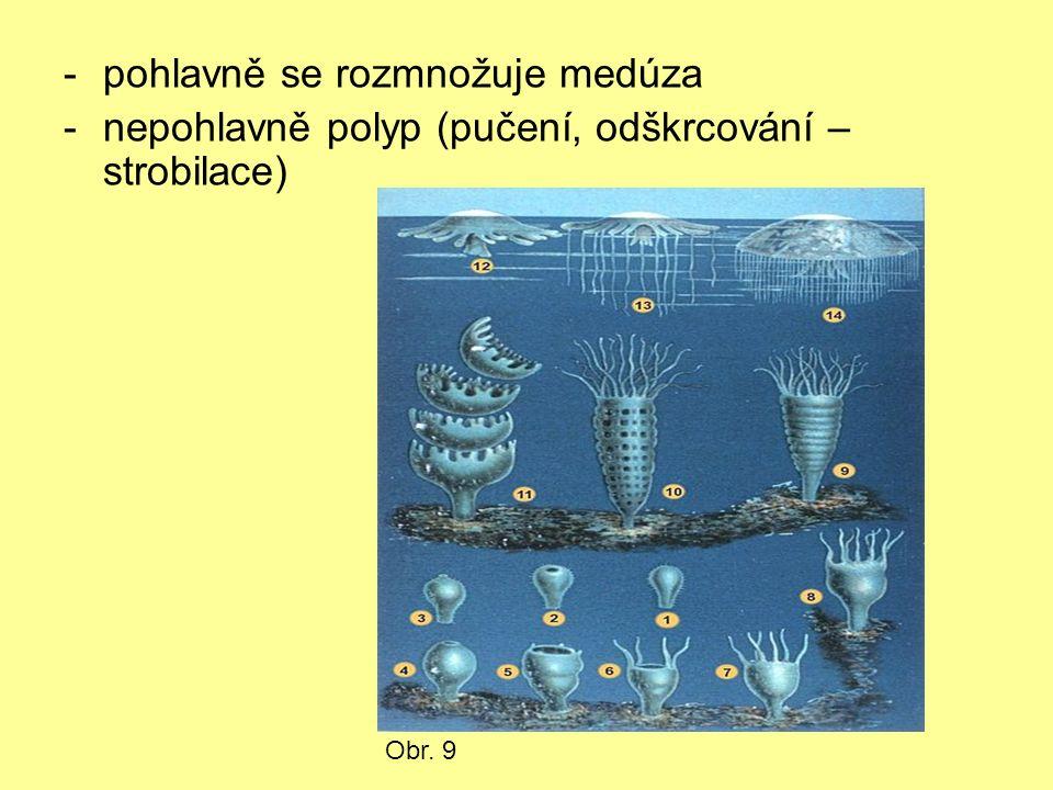 -pohlavně se rozmnožuje medúza -nepohlavně polyp (pučení, odškrcování – strobilace) Obr. 9