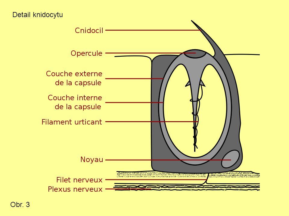 Obr. 3 Detail knidocytu