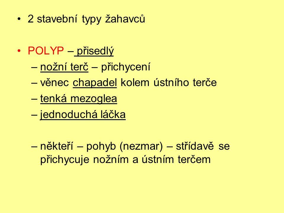 2 stavební typy žahavců POLYP – přisedlý –nožní terč – přichycení –věnec chapadel kolem ústního terče –tenká mezoglea –jednoduchá láčka –někteří – poh