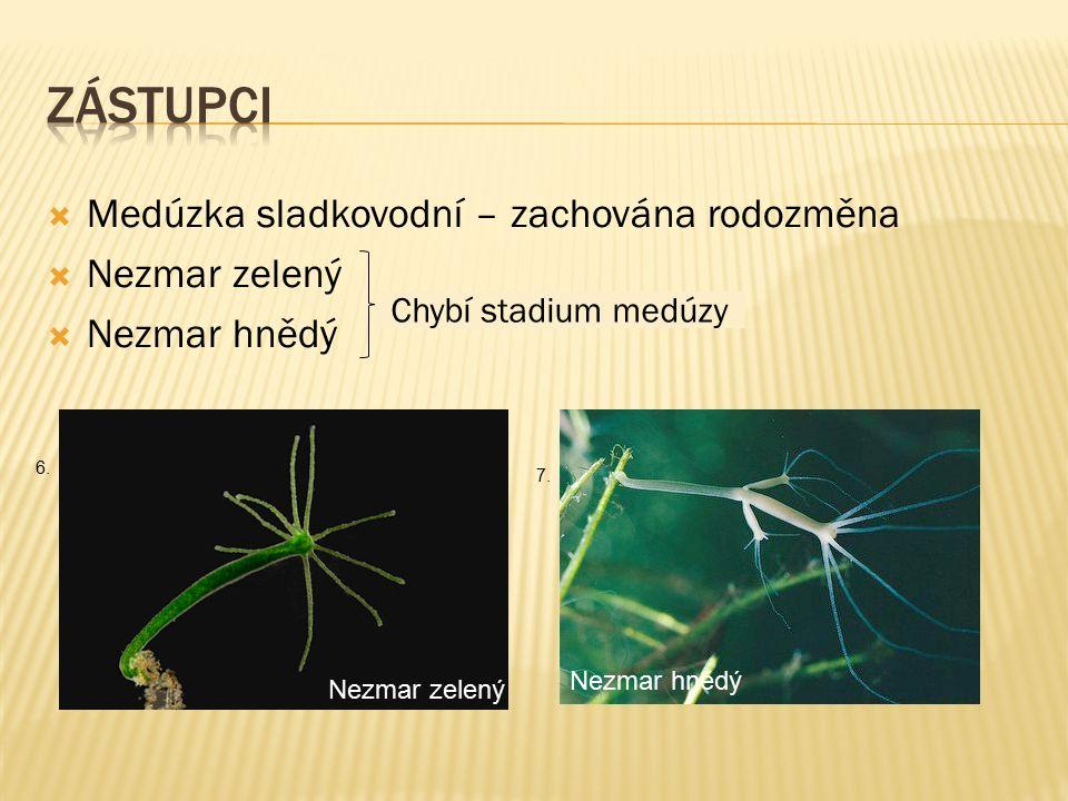  Medúzka sladkovodní – zachována rodozměna  Nezmar zelený  Nezmar hnědý Chybí stadium medúzy Nezmar zelený Nezmar hnědý 7. 6.