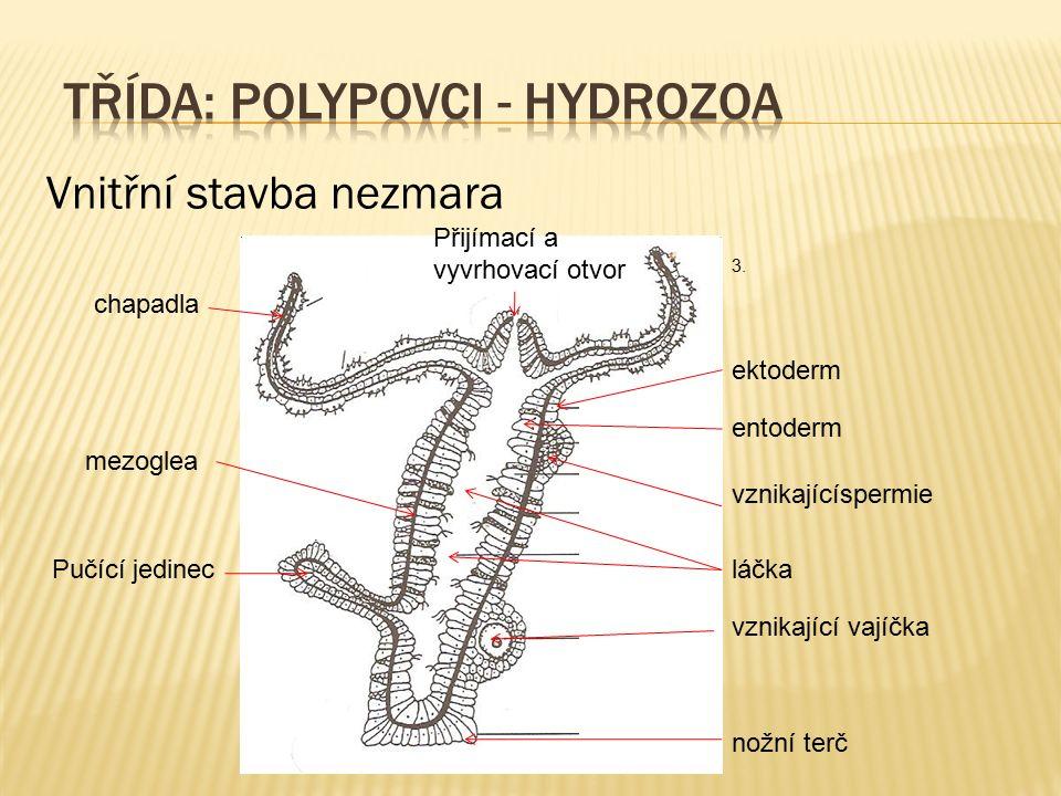 Vnitřní stavba nezmara Přijímací a vyvrhovací otvor chapadla ektoderm entoderm láčkaPučící jedinec vznikající vajíčka vznikajícíspermie nožní terč mez