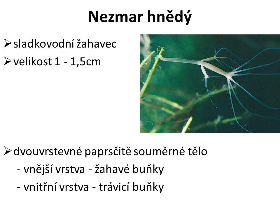 Nezmar hnědý  sladkovodní žahavec  velikost 1 - 1,5cm  dvouvrstevné paprsčitě souměrné tělo - vnější vrstva - žahavé buňky - vnitřní vrstva - trávi