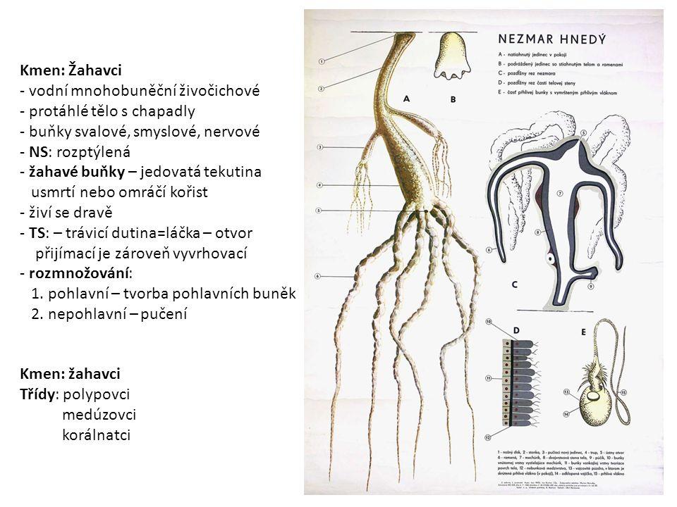 Kmen: Žahavci - vodní mnohobuněční živočichové - protáhlé tělo s chapadly - buňky svalové, smyslové, nervové - NS: rozptýlená - žahavé buňky – jedovatá tekutina usmrtí nebo omráčí kořist - živí se dravě - TS: – trávicí dutina=láčka – otvor přijímací je zároveň vyvrhovací - rozmnožování: 1.
