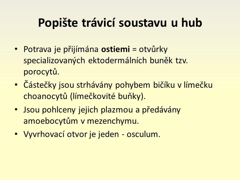 Popište trávicí soustavu u hub Potrava je přijímána ostiemi = otvůrky specializovaných ektodermálních buněk tzv.