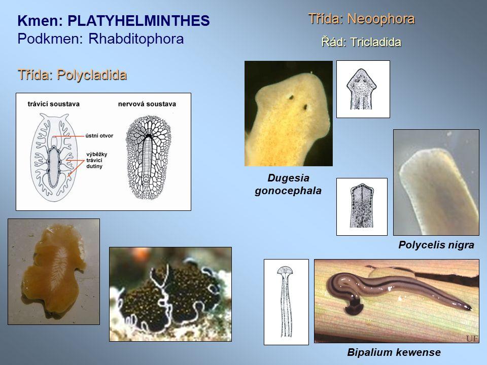 Kmen: PLATYHELMINTHES Podkmen: Rhabditophora Třída: Polycladida Třída: Neoophora Řád: Tricladida Dugesia gonocephala Polycelis nigra Bipalium kewense