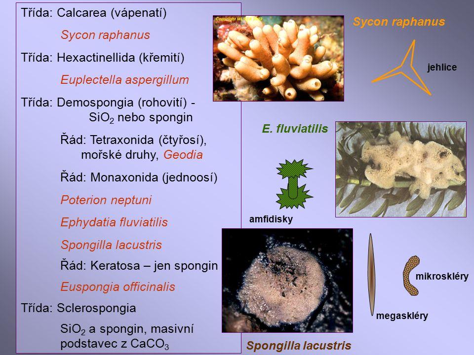 Třída: Calcarea (vápenatí) Sycon raphanus Třída: Hexactinellida (křemití) Euplectella aspergillum Třída: Demospongia (rohovití) - SiO 2 nebo spongin Řád: Tetraxonida (čtyřosí), mořské druhy, Geodia Řád: Monaxonida (jednoosí) Poterion neptuni Ephydatia fluviatilis Spongilla lacustris Řád: Keratosa – jen spongin Euspongia officinalis Třída: Sclerospongia SiO 2 a spongin, masivní podstavec z CaCO 3 Sycon raphanus E.