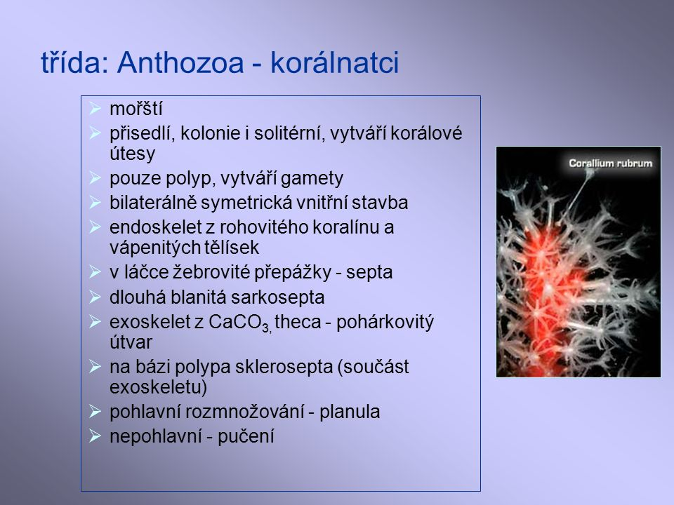 třída: Anthozoa - korálnatci  mořští  přisedlí, kolonie i solitérní, vytváří korálové útesy  pouze polyp, vytváří gamety  bilaterálně symetrická vnitřní stavba  endoskelet z rohovitého koralínu a vápenitých tělísek  v láčce žebrovité přepážky - septa  dlouhá blanitá sarkosepta  exoskelet z CaCO 3, theca - pohárkovitý útvar  na bázi polypa sklerosepta (součást exoskeletu)  pohlavní rozmnožování - planula  nepohlavní - pučení
