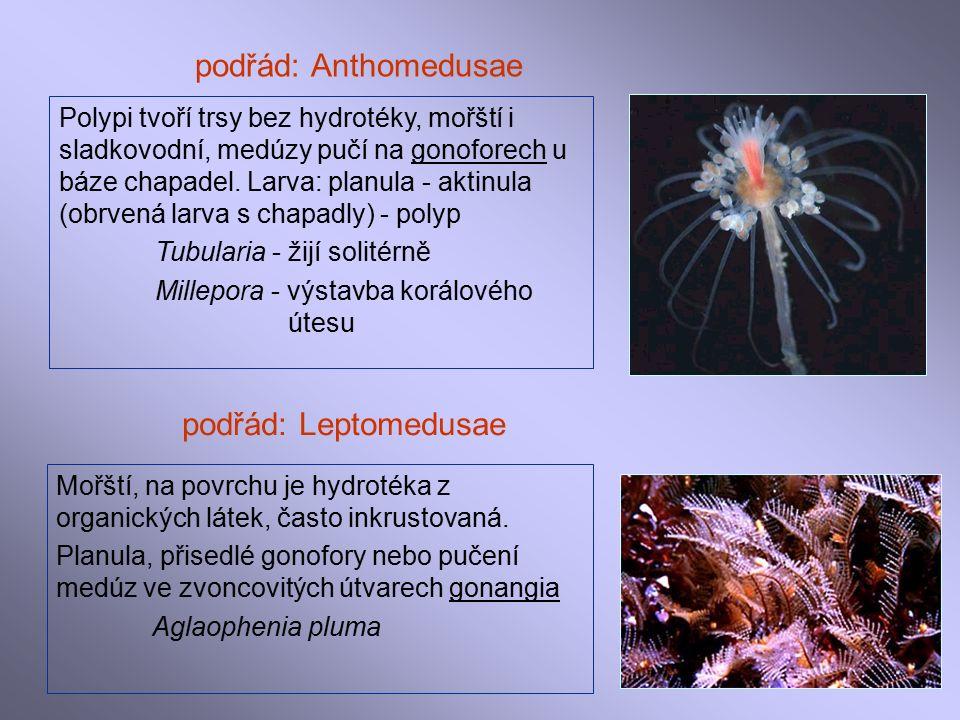 podřád: Anthomedusae Polypi tvoří trsy bez hydrotéky, mořští i sladkovodní, medúzy pučí na gonoforech u báze chapadel.