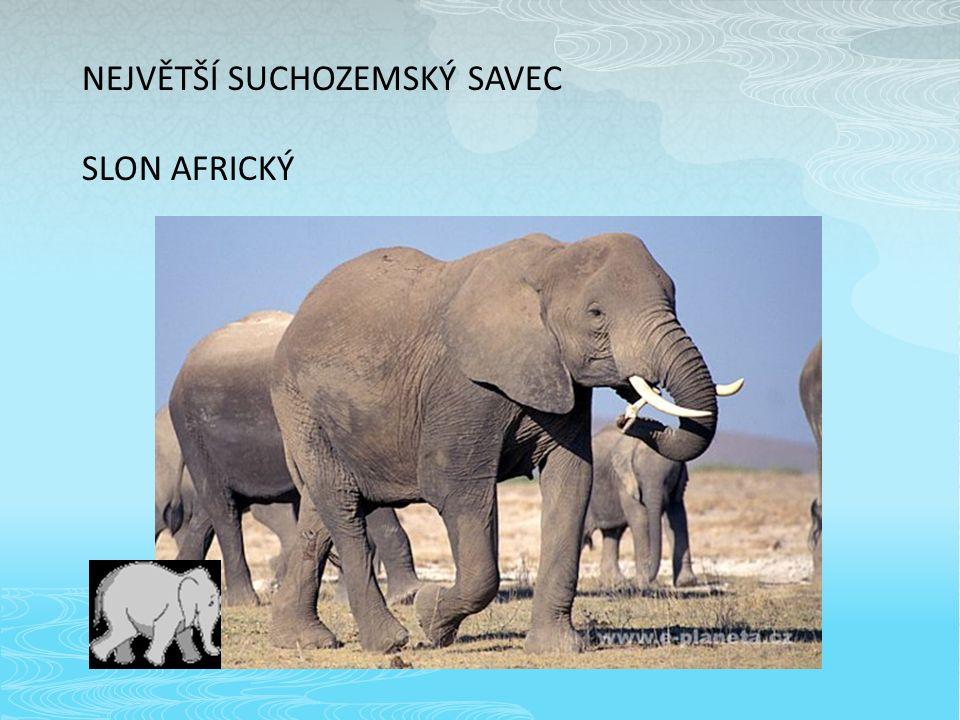 NEJVĚTŠÍ SUCHOZEMSKÝ SAVEC SLON AFRICKÝ
