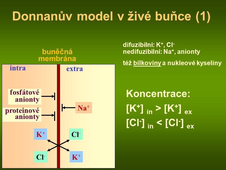 buněčná membrána intra extra fosfátové anionty proteinové anionty Na + Cl - K+K+ K+K+ Donnanův model v živé buňce (1) difuzibilní: K +, Cl - nedifuzibilní: Na +, anionty též bílkoviny a nukleové kyseliny Koncentrace: [K + ] in > [K + ] ex [Cl - ] in < [Cl - ] ex
