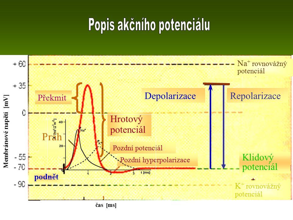 DepolarizaceRepolarizace Překmit Hrotový potenciál Pozdní potenciál Pozdní hyperpolarizace podnět Klidový potenciál K + rovnovážný potenciál Na + rovnovážný potenciál Práh čas [ms] Membránové napětí [mV]