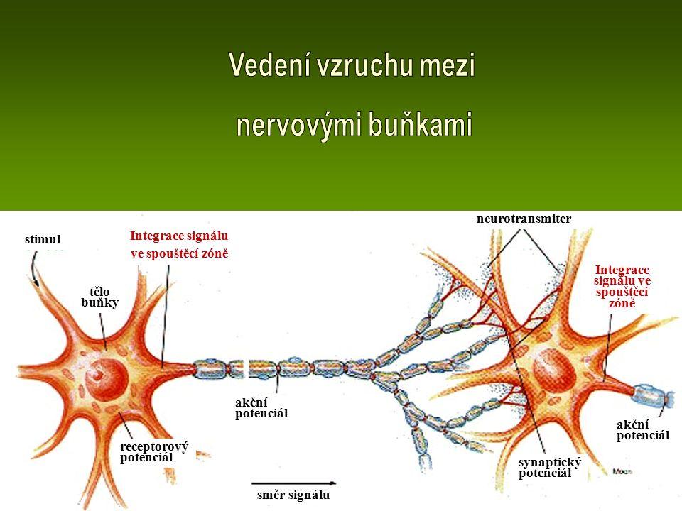 akční potenciál synaptický potenciál směr signálu receptorový potenciál tělo buňky stimul Integrace signálu ve spouštěcí zóně neurotransmiter Integrac