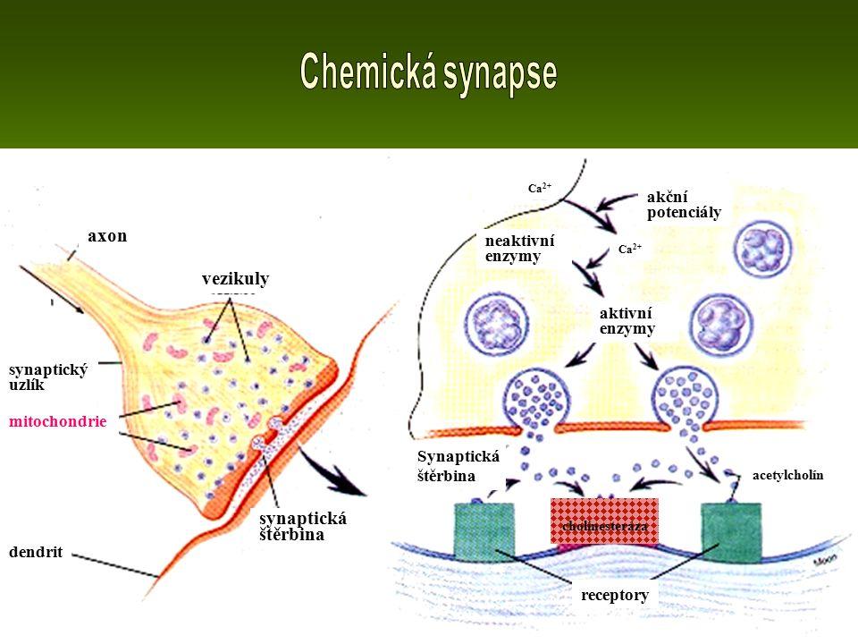 vezikuly synaptická štěrbina Synaptická štěrbina receptory aktivní enzymy neaktivní enzymy akční potenciály acetylcholín cholínesteráza Ca 2+ mitochondrie synaptický uzlík axon dendrit
