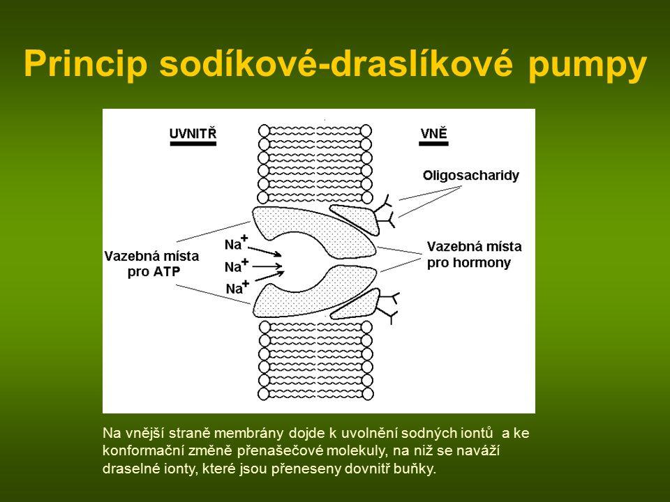 Princip sodíkové-draslíkové pumpy Na vnější straně membrány dojde k uvolnění sodných iontů a ke konformační změně přenašečové molekuly, na niž se naváží draselné ionty, které jsou přeneseny dovnitř buňky.
