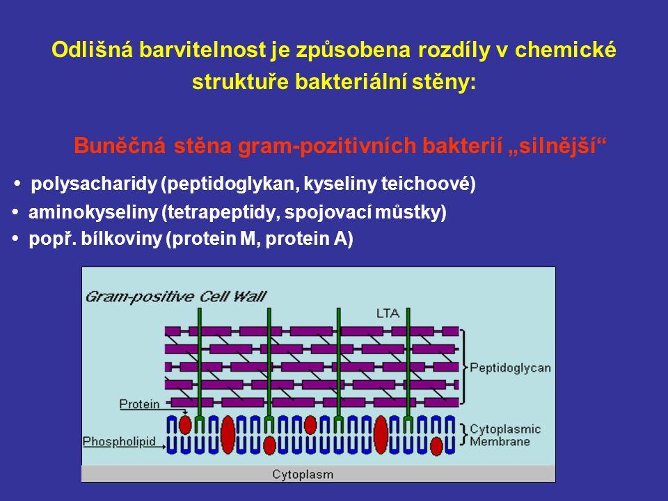 """Odlišná barvitelnost je způsobena rozdíly v chemické struktuře bakteriální stěny: Buněčná stěna gram-pozitivních bakterií """"silnější polysacharidy (peptidoglykan, kyseliny teichoové) aminokyseliny (tetrapeptidy, spojovací můstky) popř."""