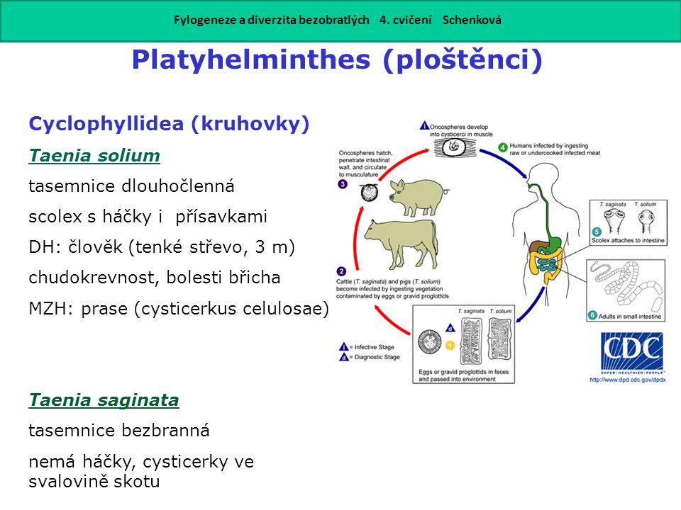 Platyhelminthes (ploštěnci) Cyclophyllidea (kruhovky) Taenia solium tasemnice dlouhočlenná scolex s háčky i přísavkami DH: člověk (tenké střevo, 3 m)