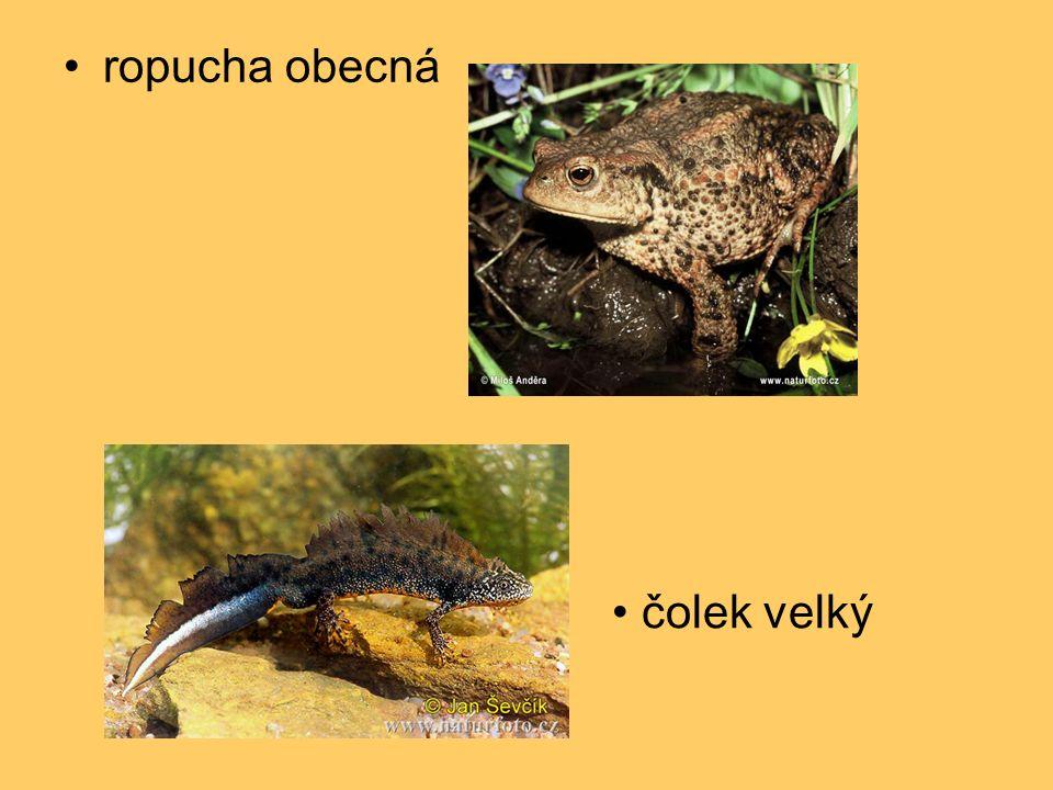 """TŘÍDA: plazi hadi – užovka obojková -válcovité tělo až 1 m -suchá kůže krytá šupinami -svrchní část svléká """"hadí košilka -srostlá oční víčka -jazyk je orgán hmatu a čichu -potrava – žáby, rybky, hraboši -samice klade kožovitá vejce -vývin přímý"""