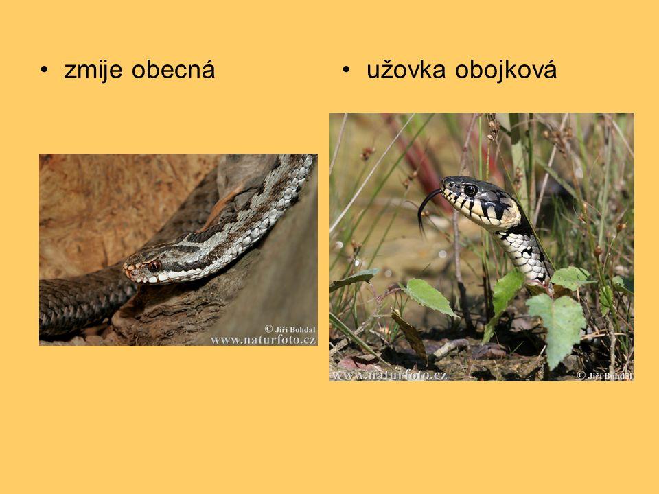 zmije obecnáužovka obojková