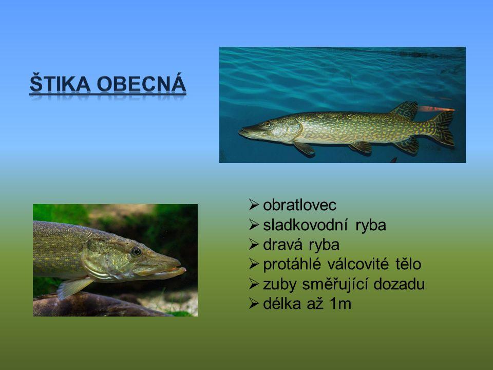  obratlovec  sladkovodní ryba  dravá ryba  protáhlé válcovité tělo  zuby směřující dozadu  délka až 1m