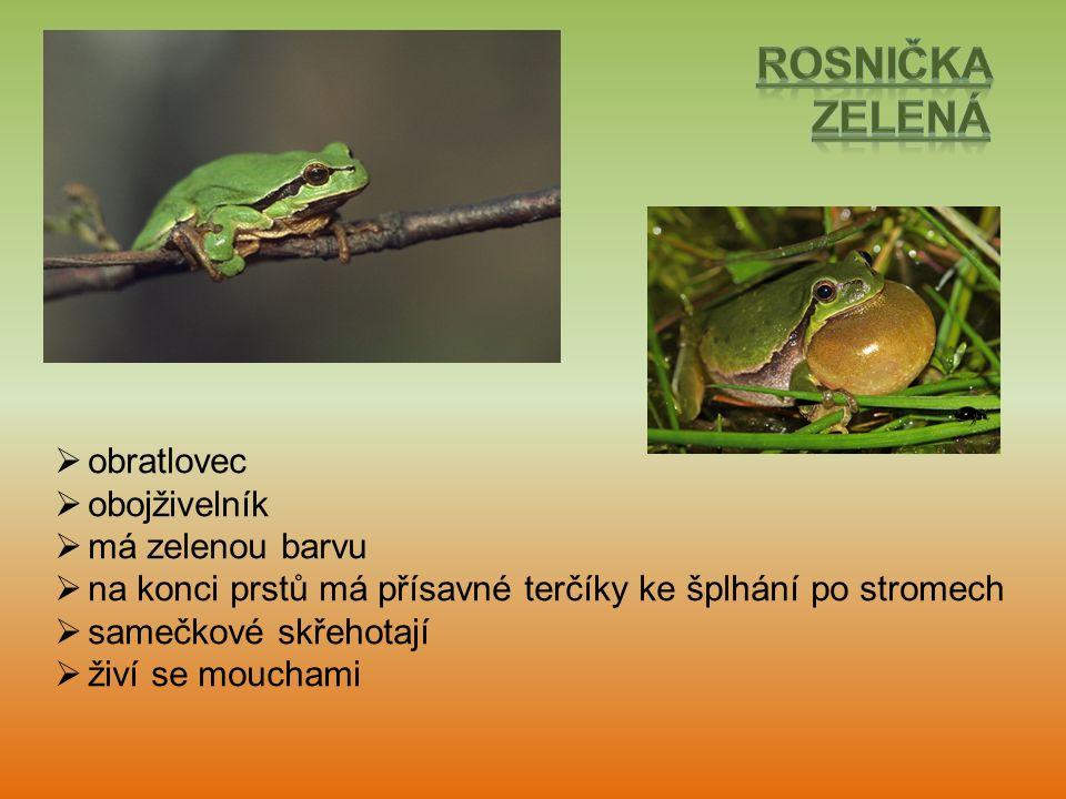  obratlovec  obojživelník  má zelenou barvu  na konci prstů má přísavné terčíky ke šplhání po stromech  samečkové skřehotají  živí se mouchami