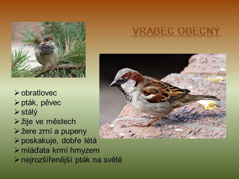  obratlovec  pták, pěvec  stálý  žije ve městech  žere zrní a pupeny  poskakuje, dobře létá  mláďata krmí hmyzem  nejrozšířenější pták na světě